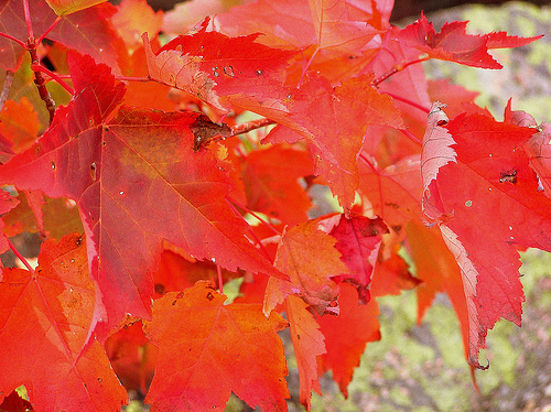 Red Leaves. Par Chang'r. CC-BY-ND. Source : Flickr